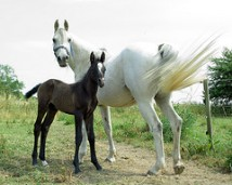 Grey mare gone white with dark foal that will grey out