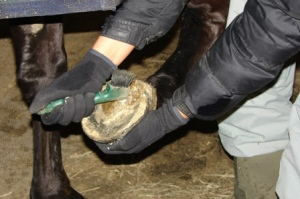 Cleaning a hoof