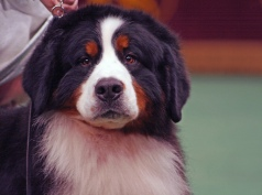 Bernese Mountain Dog by Lori Branham--CreativeCommonsLicense2.0