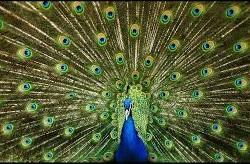 Peacock 5-1