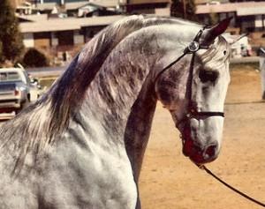grey horse 2